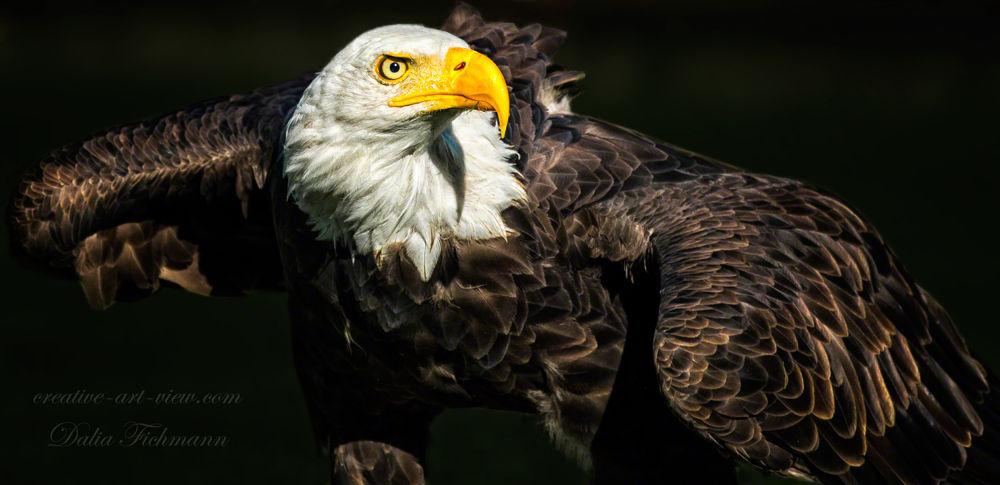 I'm watching you! Bald eagle by DaliaFichmann