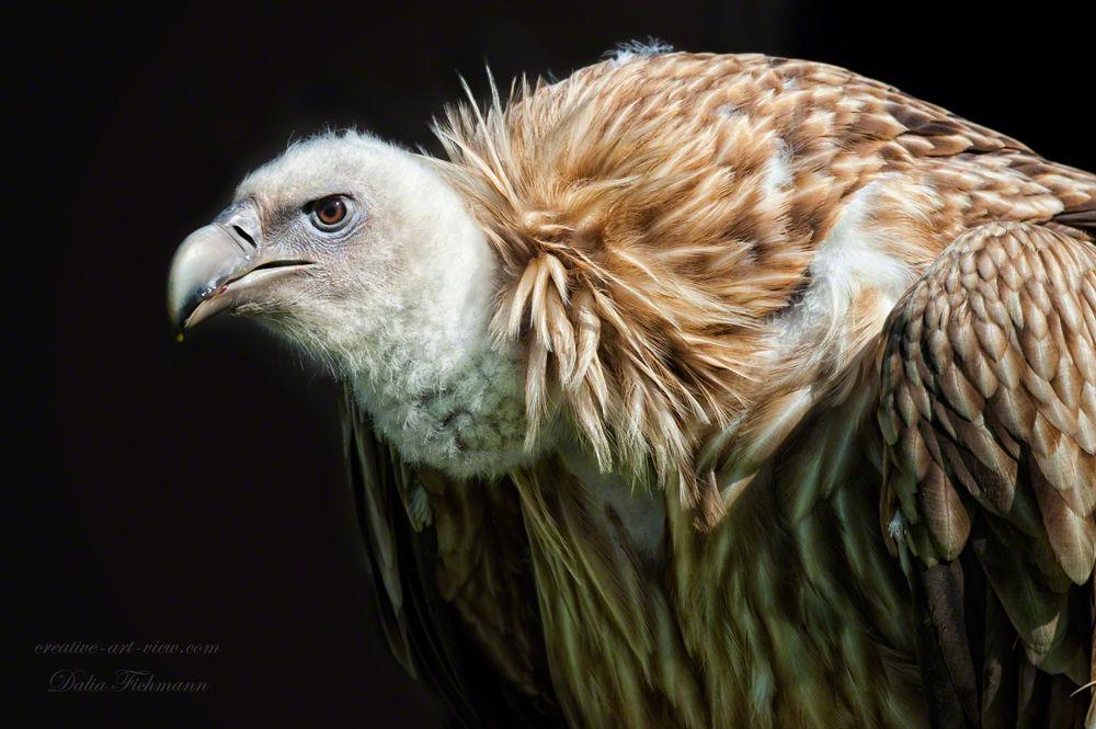 Ugly or beauty? Griffon Vulture by DaliaFichmann