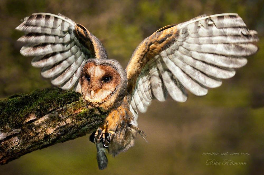 Barn owl by DaliaFichmann