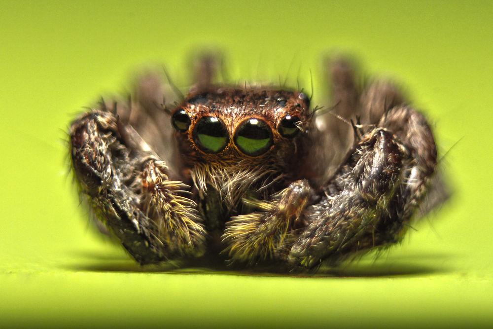 Spider Salticidae by marittelazcano