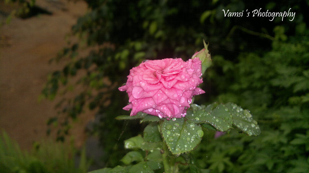 Photo in Nature #ypa2013 #vamsi photography #nature #rose #nude #vamsi #flowers #art #colors #reserve