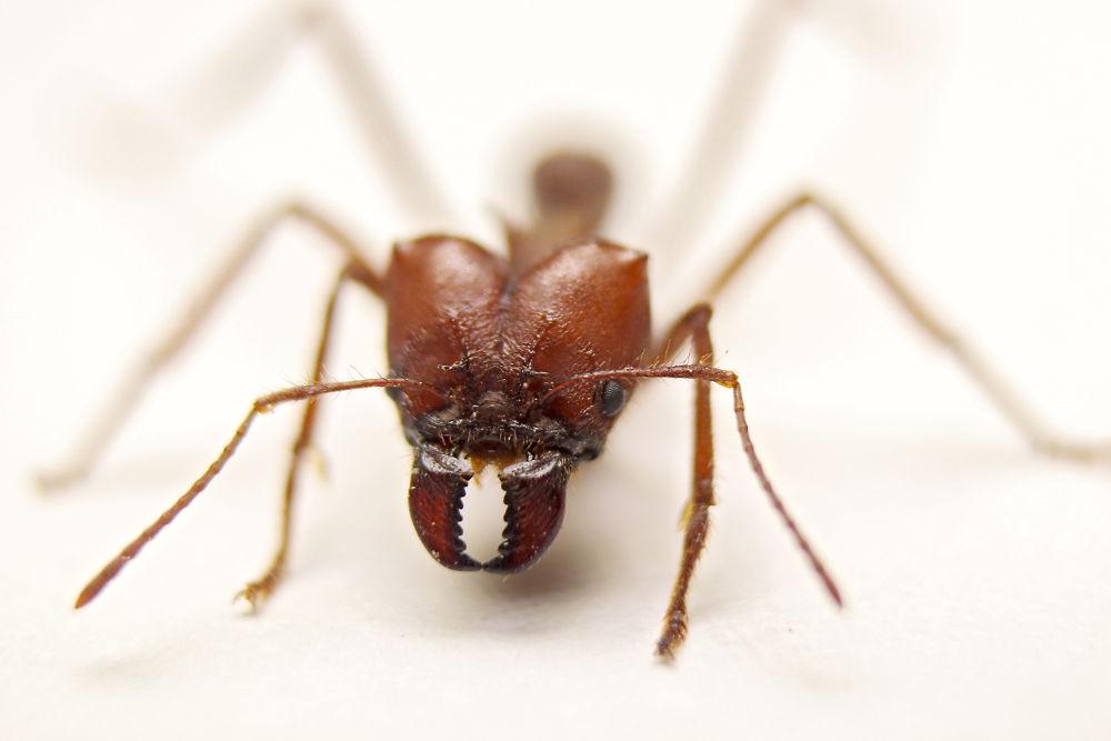 Hormiga Roja by marittelazcano