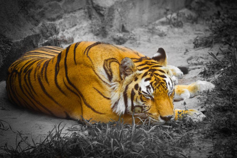Photo in Animal #ypa2013 #tiger #sleep #sleeping #snooze #bill #schuchman #photography #billschuchmanphotography #nikon #cat
