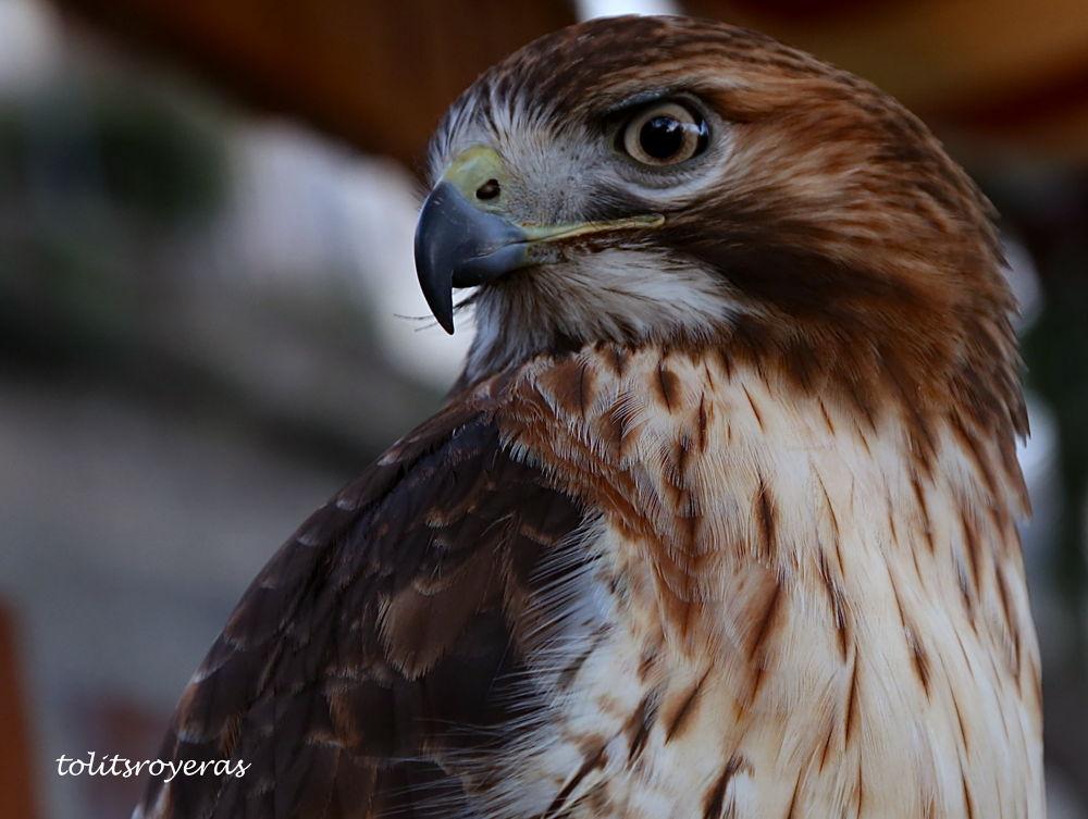 Imperial Eagle by tolitzcaliwanroyeras