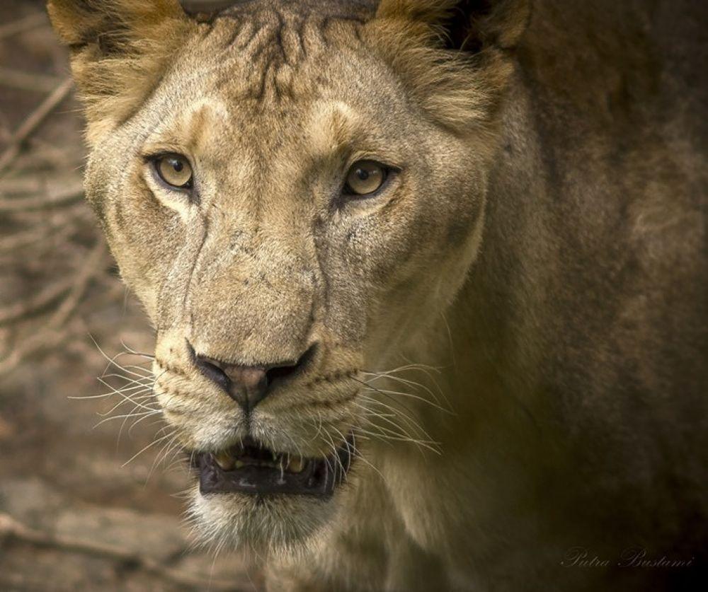 Lioness III by PutraBustami