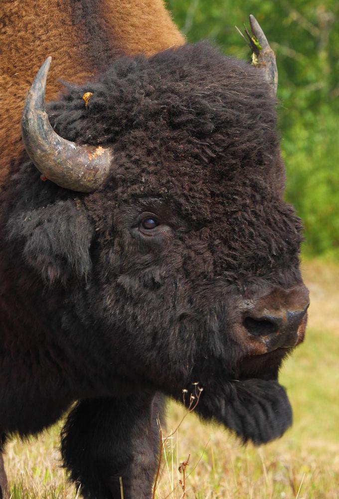 Photo in Animal #wood bison #nature #wildlife #canada #muncho lake #bison bison athabascae