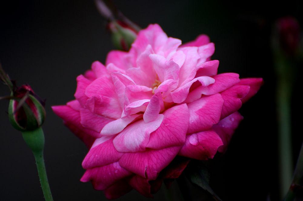 rose by martin marthadinata