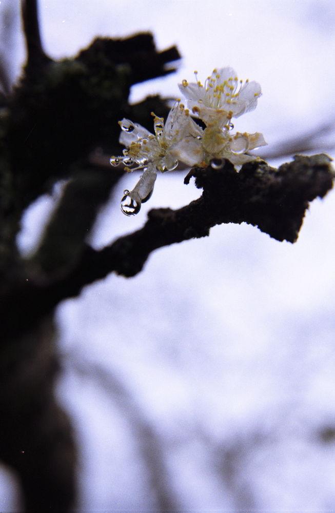 The flower's teardrops by kouzmicserguei