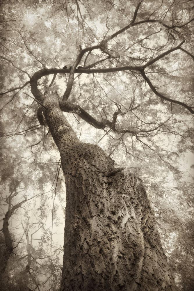 Sepia tree 1 by fodorpetya
