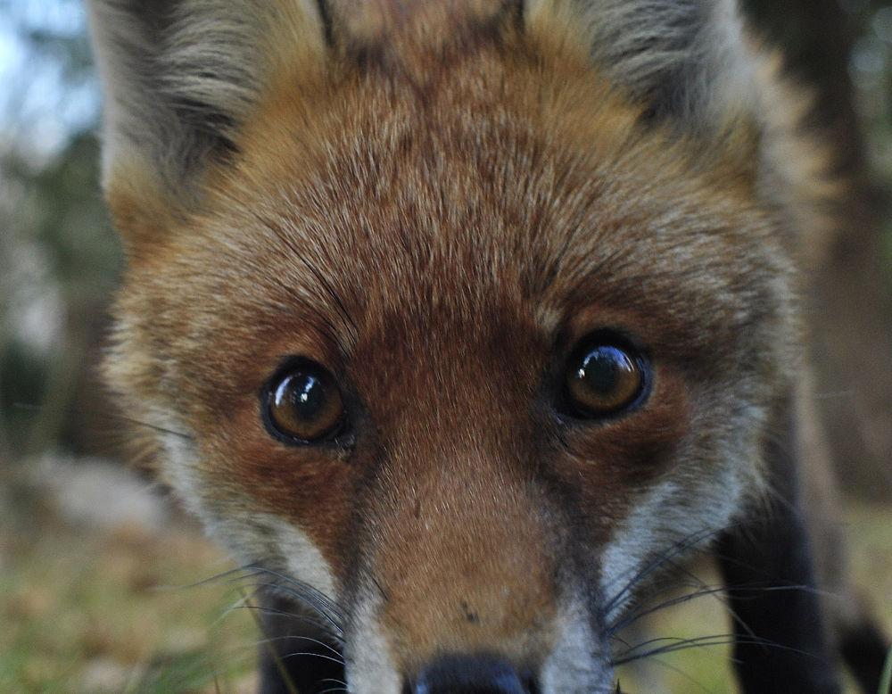 fox eyes by klangraumberlin