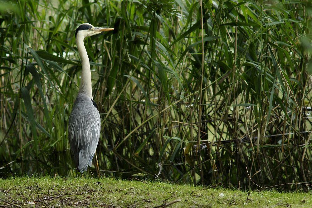 gray heron by klangraumberlin