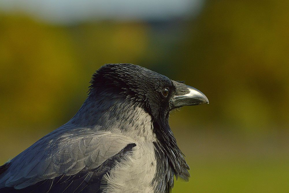Photo in Animal #crow