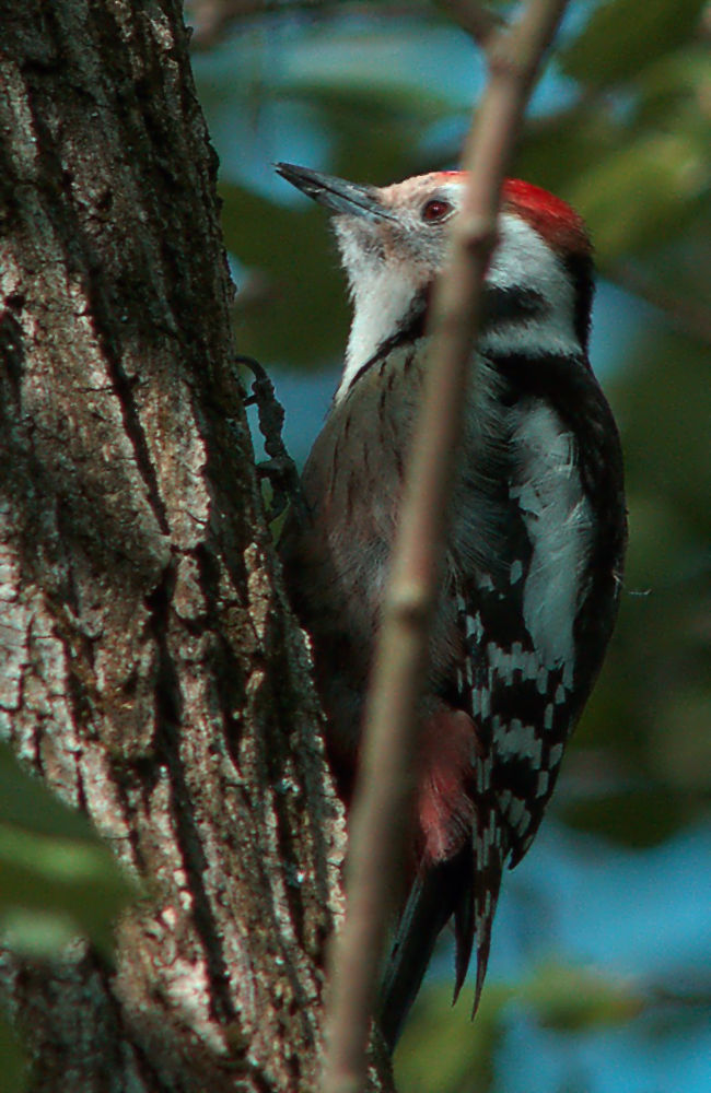 middle spotted woodpecker [Dendrocopos medius] by klangraumberlin