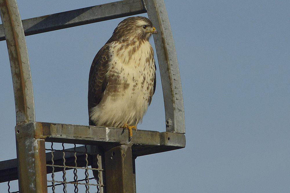 common buzzard by klangraumberlin