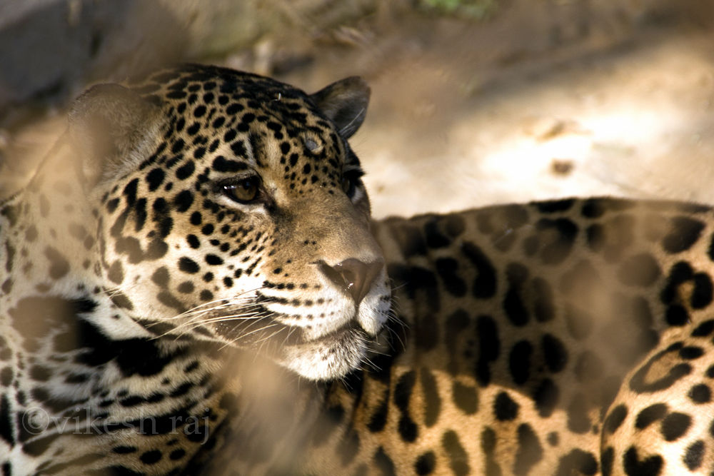 Photo in Animal #animal #tiger #zoo