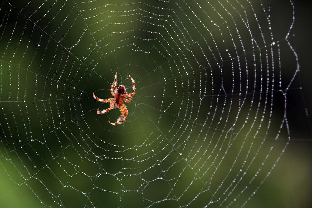 Spider by Giovani Ricciardi