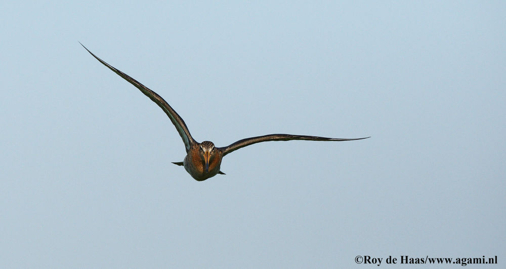 Photo in Random #black-tailed godwit #roy de haas #agami