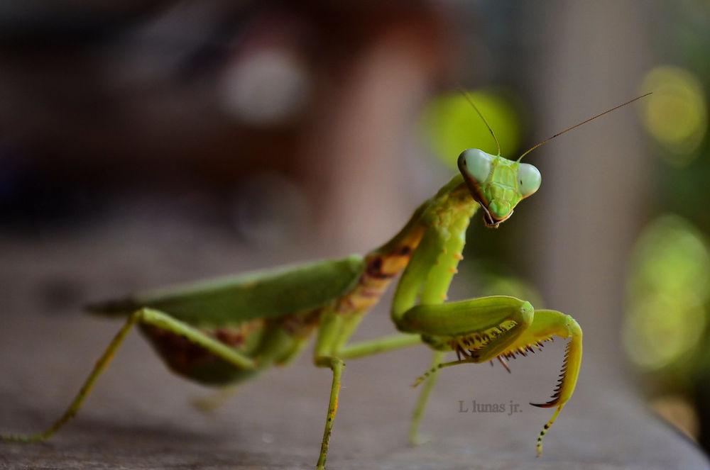 mantis by laurodonlunas
