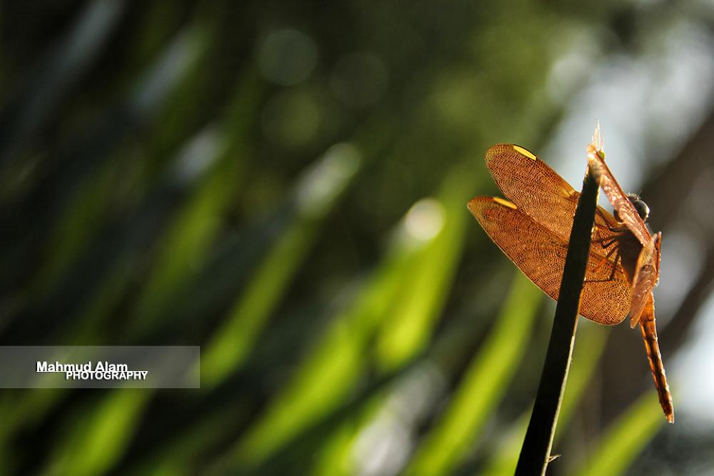 Dragon Fly by MahmudAlam