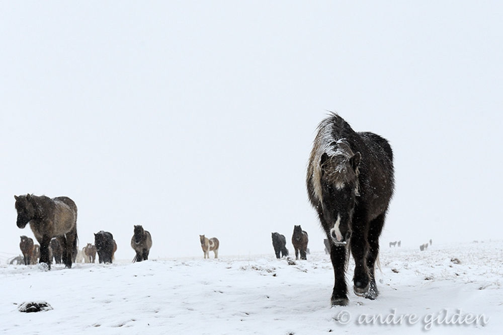 Photo in Animal #iceland #icelandic horse #icelandic #horse #animal #herd #snow #winter #grey #white #cold #ice #icy #hardship #tough #curious #together #group