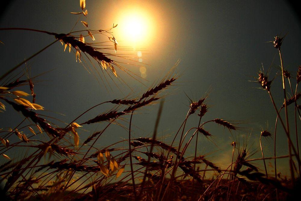 Grain Field by AmirAli Ranvar
