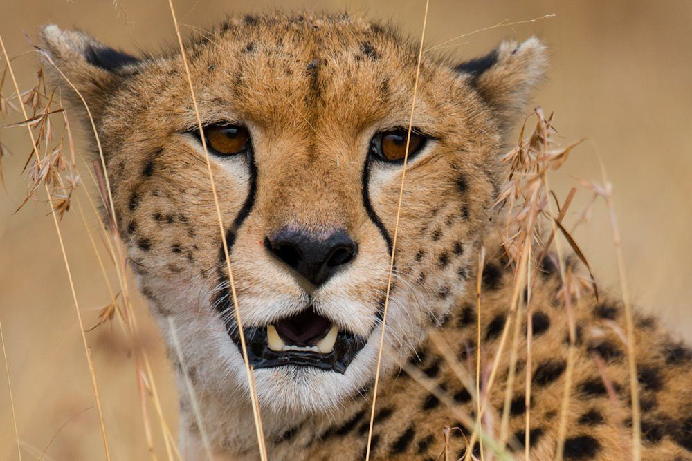 Masai Cheetah by Justin Bowen