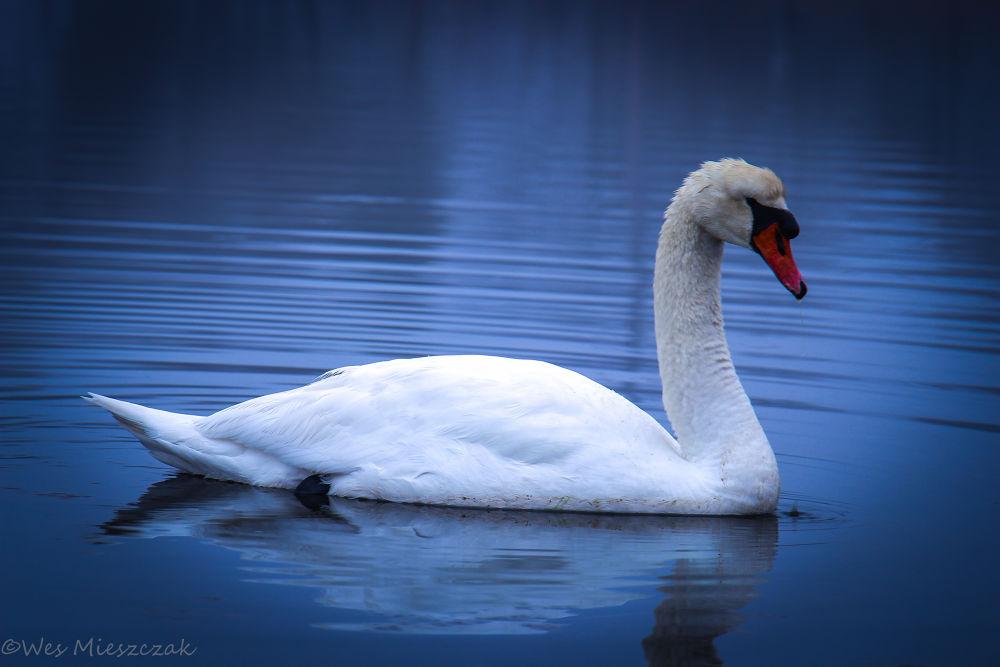 Swan. by Wes Mieszczak