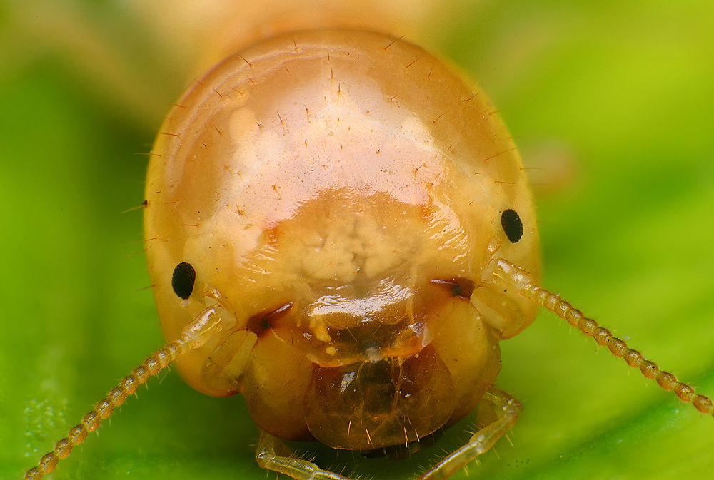 Termite (lens reverse) by mohamad javad jowkar