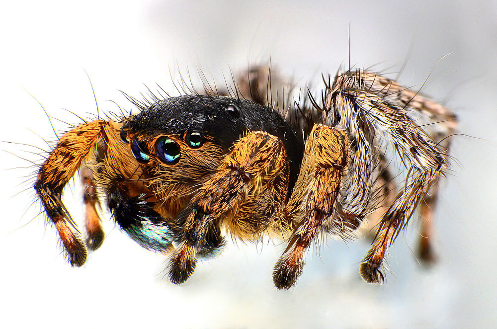 jumpping spider by mohamad javad jowkar