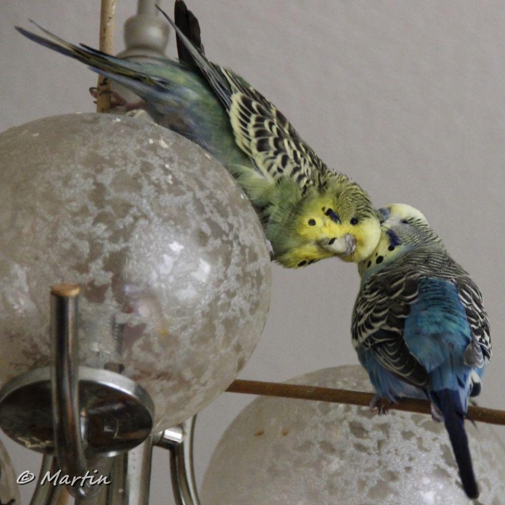 budgerigars in love  by Martin Lohrengel