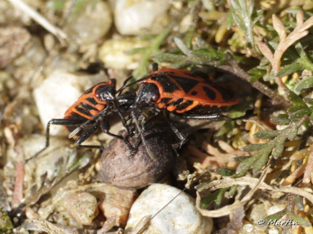 two firebug (Pyrrhocoridae) at lunch by Martin Lohrengel