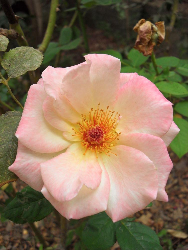 SDC11971 Pink rose golden crown by gavriealzohar