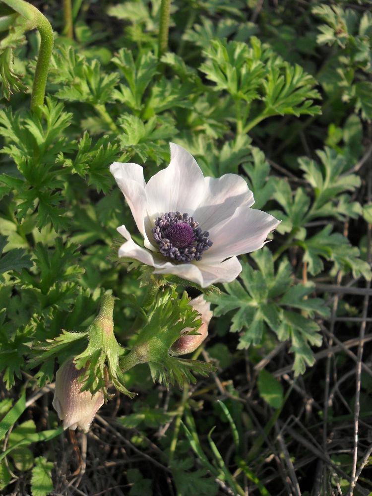 SDC12725 White windflower by gavriealzohar