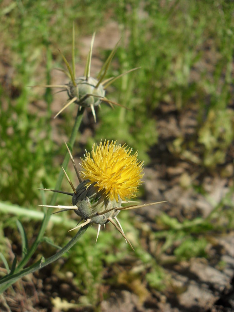 SDC14073 Yellow and very spiky by gavriealzohar