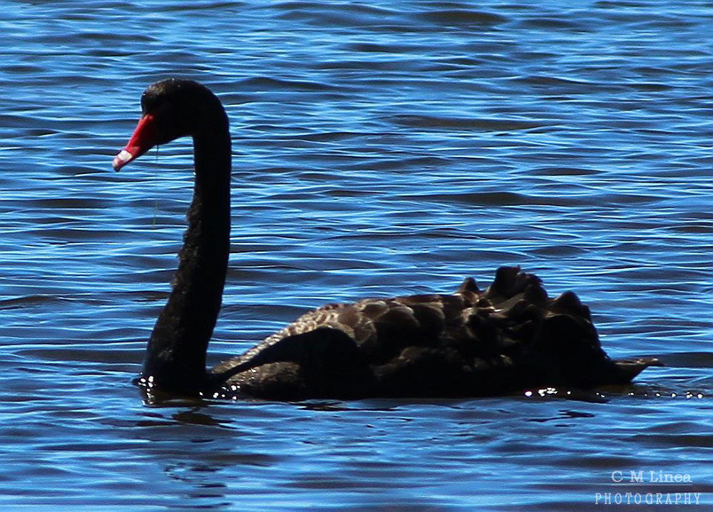 Black Swan  by cmlinea