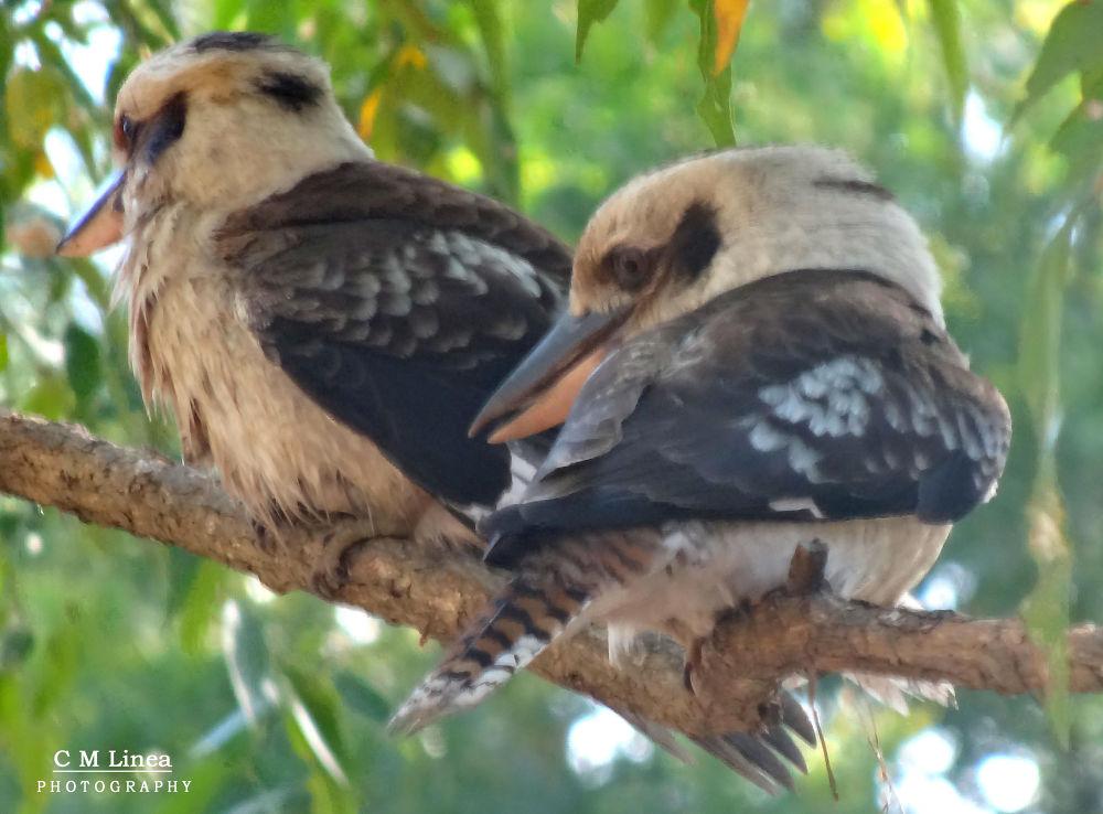 kookaburra  by cmlinea