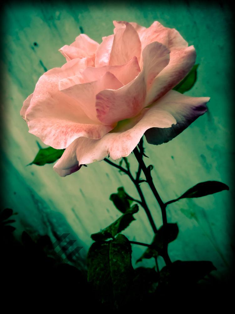 flower by mrsmirdamadi