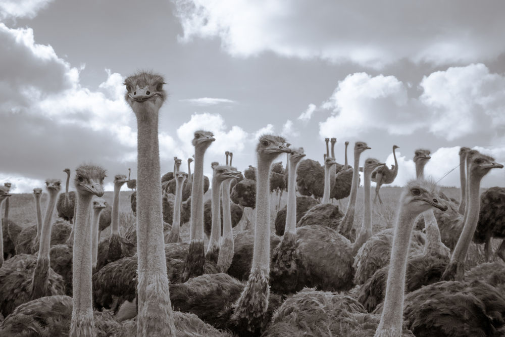 Ostriches by RichardKeeling