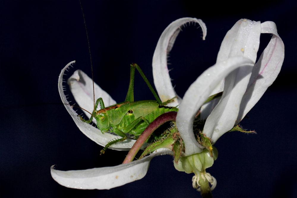 green grasshopper by cananyasar