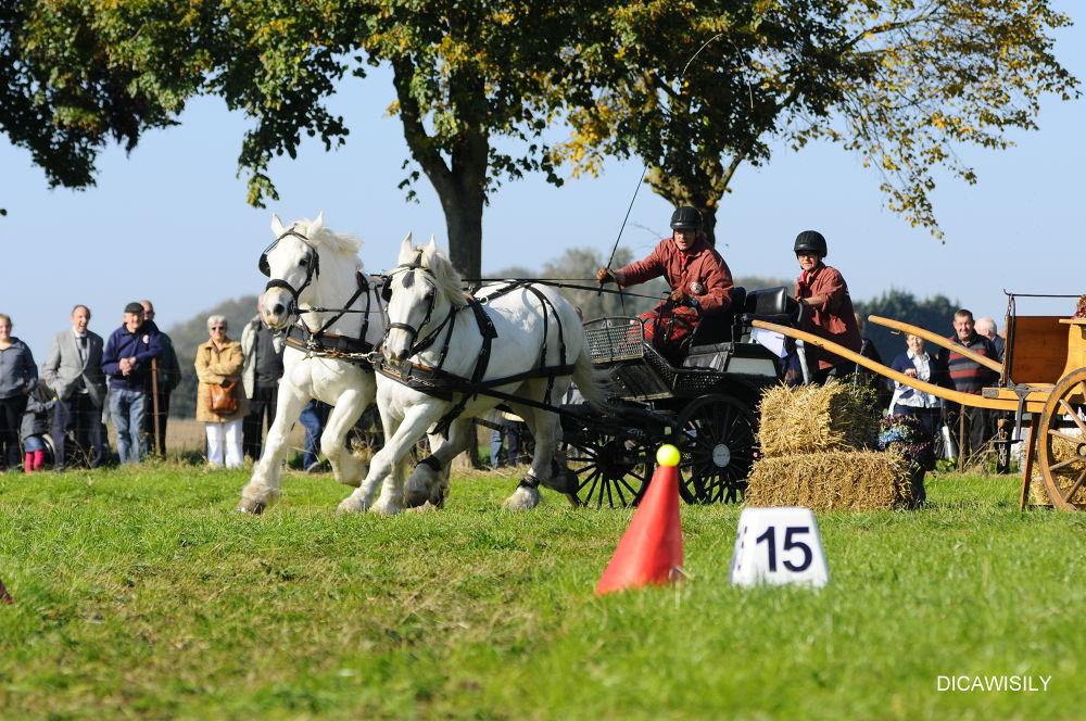 flemish draft horse by Carine De Leeuw