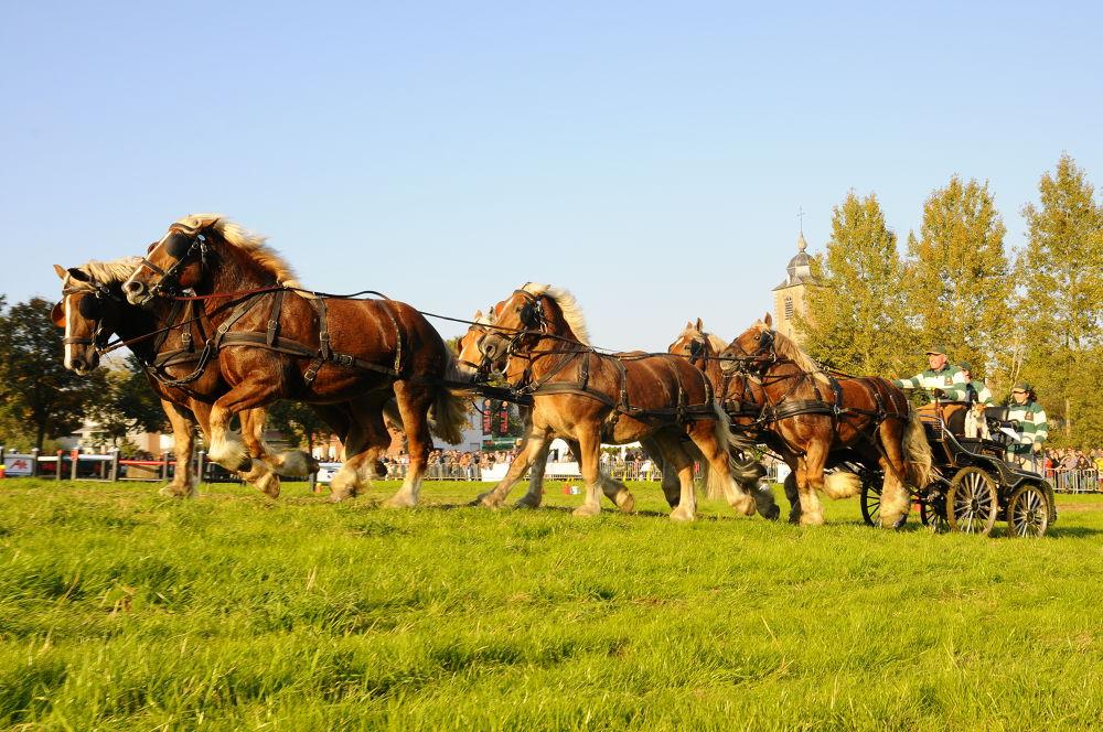Belgium  Palm  draft horses by Carine De Leeuw