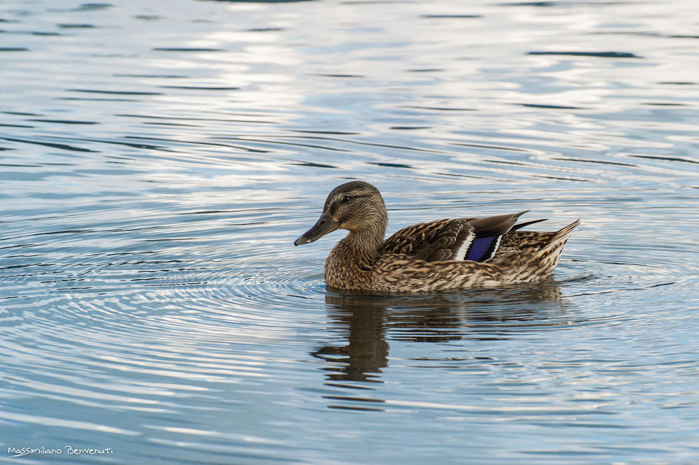 Photo in Animal #ypa2013 #duck #lake #water