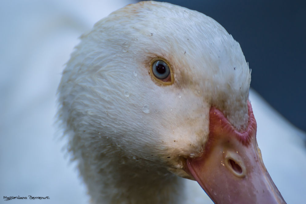 Photo in Animal #ype2013 #white #duck