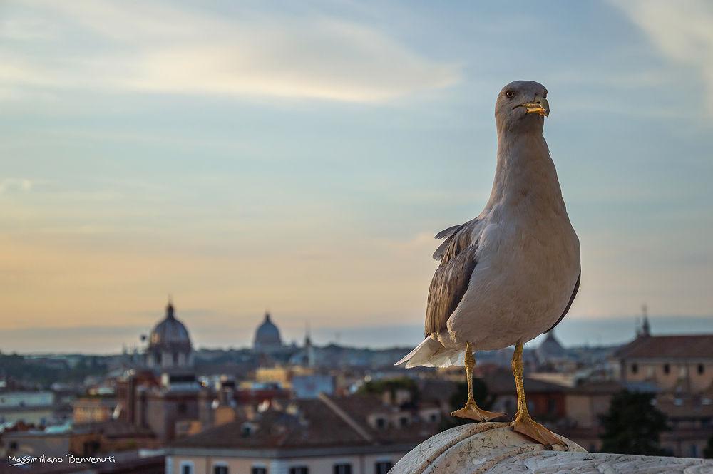 Seagull by massimilianobenvenuti10