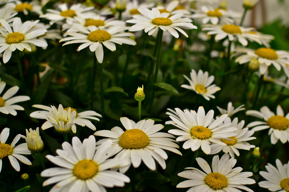 daisy by erichcabigting