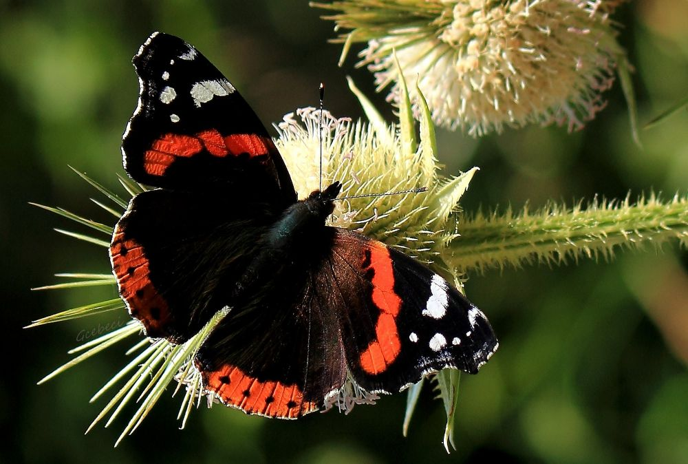 kelebek by gcebeci