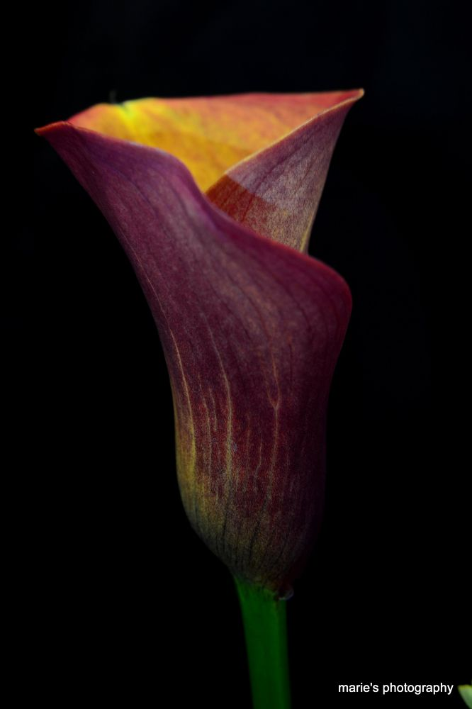 tulip by marieleather