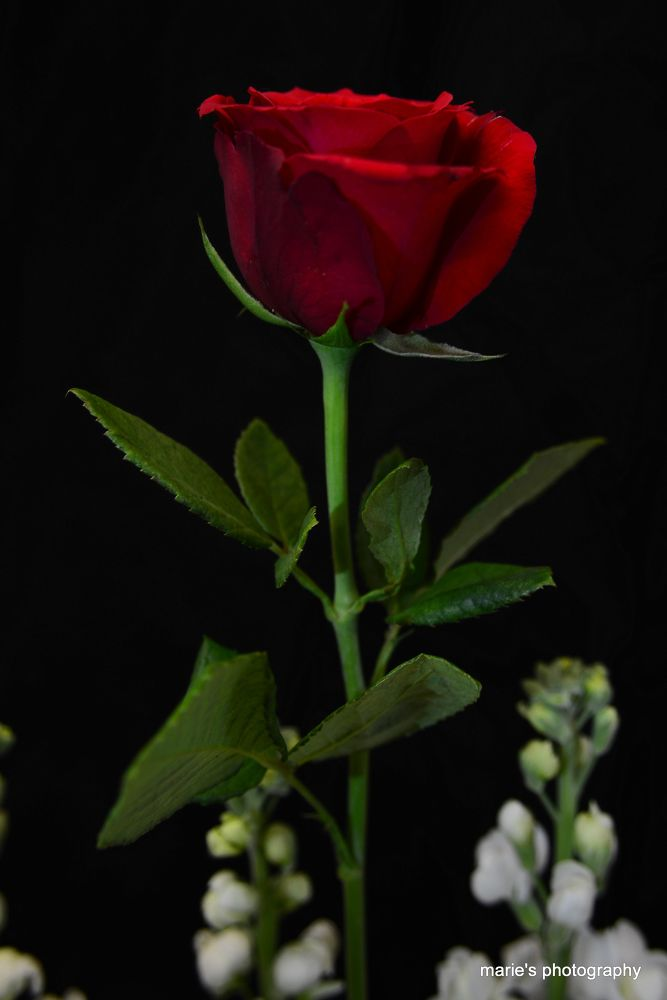 red rose for u  by marieleather