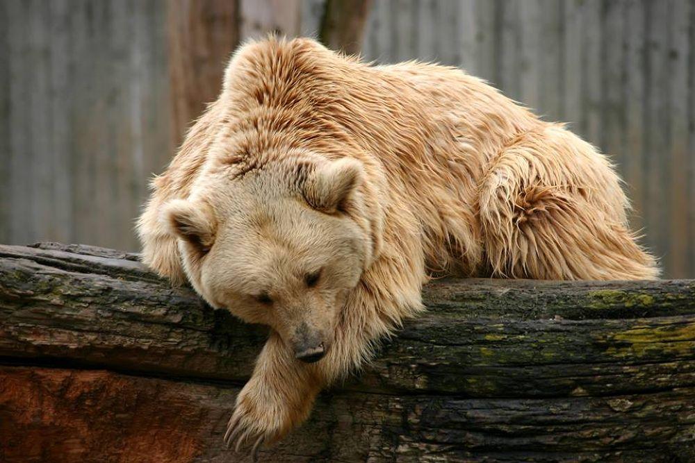 Photo in Animal #animal #bär