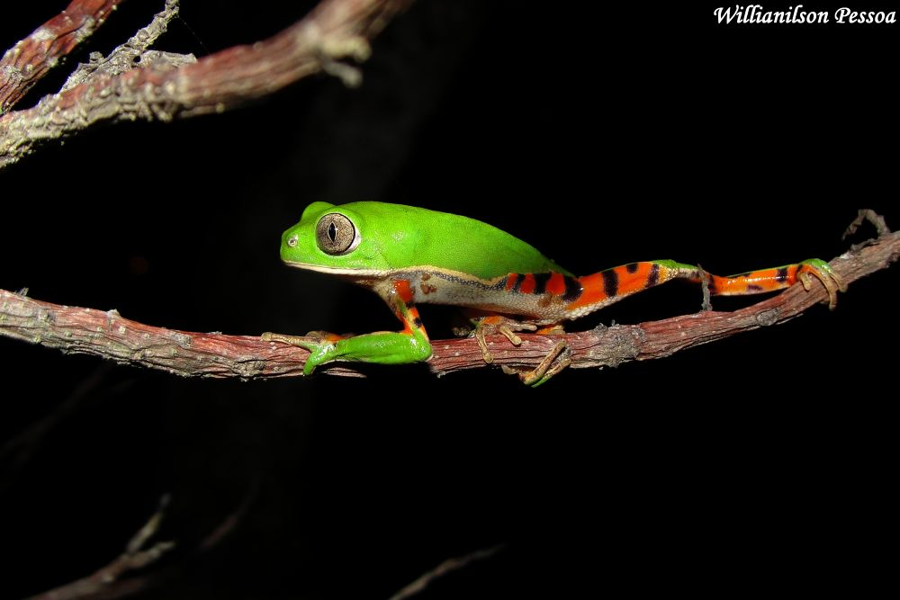 Tree frog by Willianilson Pessoa
